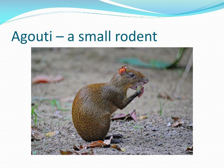 Agouti – a small rodent