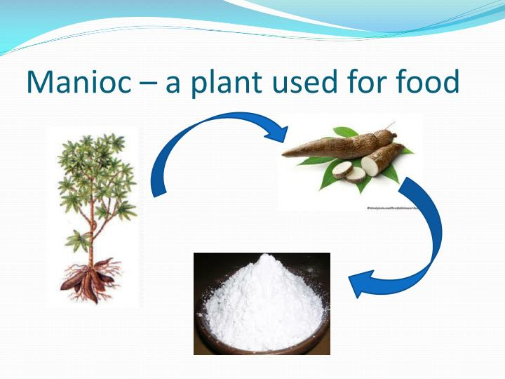 Manioc – a plant used for food