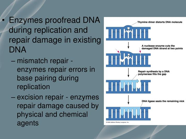 Enzymes proofread DNA during replication and repair damage in existing DNA