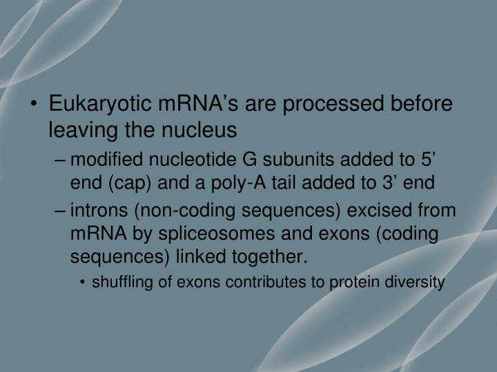 Eukaryotic mRNA's are processed before leaving the nucleus