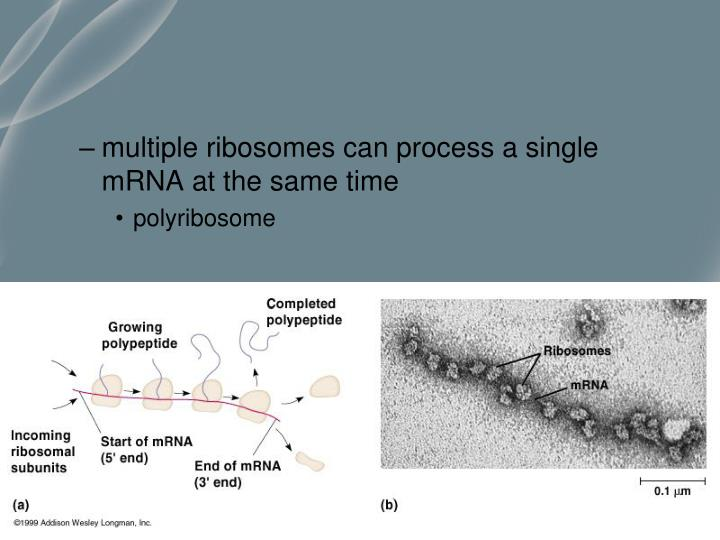 multiple ribosomes can process a single mRNA at the same time
