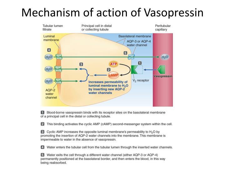 Mechanism of action of Vasopressin