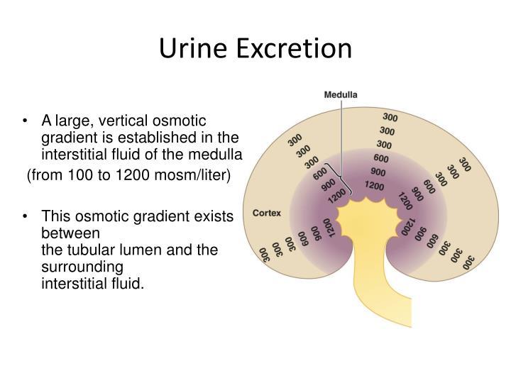 Urine Excretion