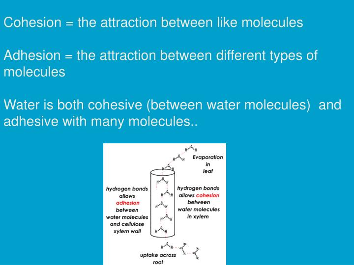 Cohesion = the attraction between like molecules
