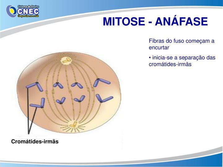 MITOSE - ANÁFASE
