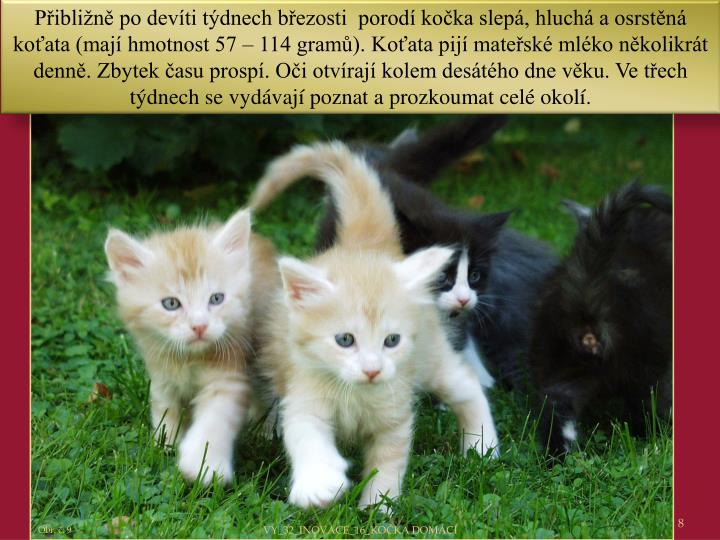 Přibližně po devíti týdnech březosti  porodí kočka slepá, hluchá a osrstěná koťata (mají hmotnost 57 – 114 gramů). Koťata pijí mateřské mléko několikrát denně. Zbytek času prospí. Oči otvírají kolem desátého dne věku. Ve třech týdnech se vydávají poznat a prozkoumat celé okolí.