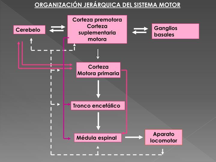 ORGANIZACIÓN JERÁRQUICA DEL SISTEMA MOTOR