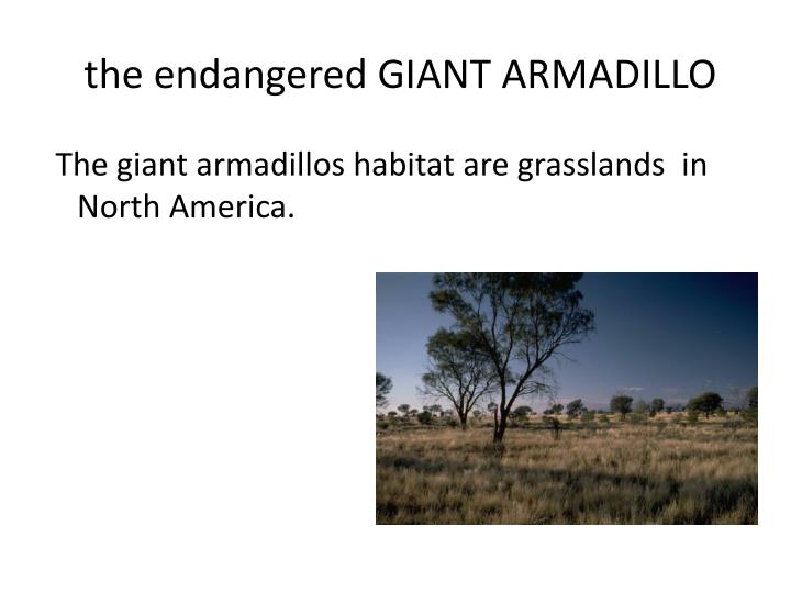 The endangered giant armadillo1