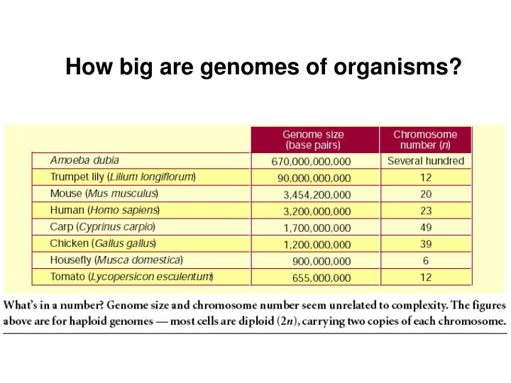 How big are genomes of organisms?