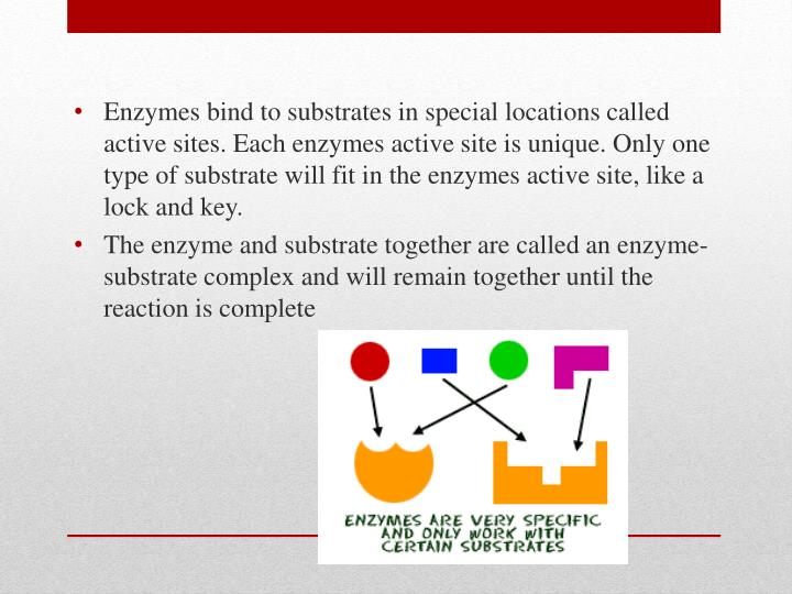 Enzymes bind to substrates in special locations called active sites. Each enzymes active site is unique. Only one type of substrate will fit in the enzymes active site, like a lock and key.