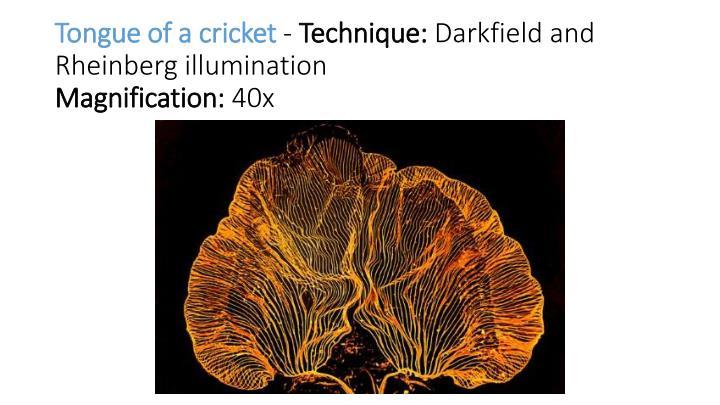 Tongue of a cricket