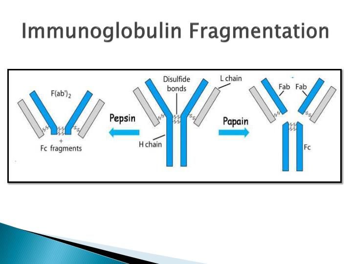 Immunoglobulin Fragmentation