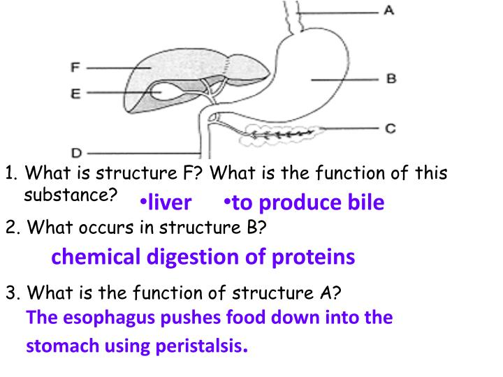 What is structure F? What is the function of this substance