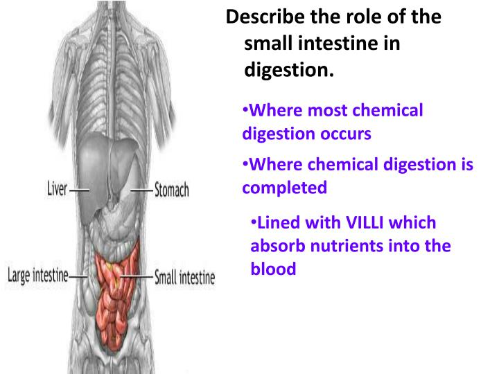Describe the role of the small intestine in digestion.