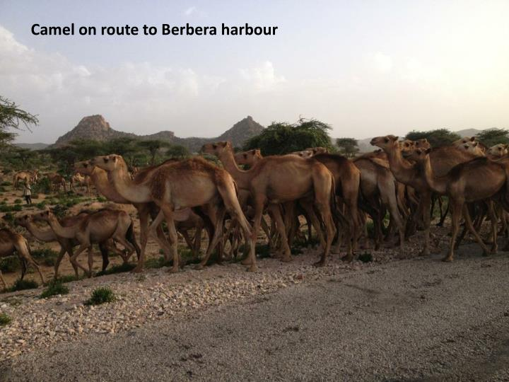 Camel on route to