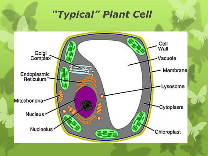 """Typical"" Plant Cell"