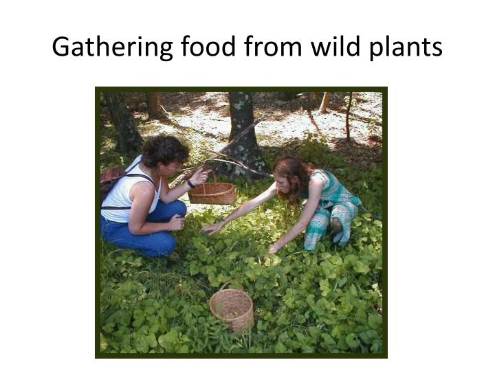 Gathering food from wild plants