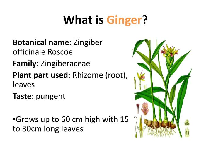 What is ginger