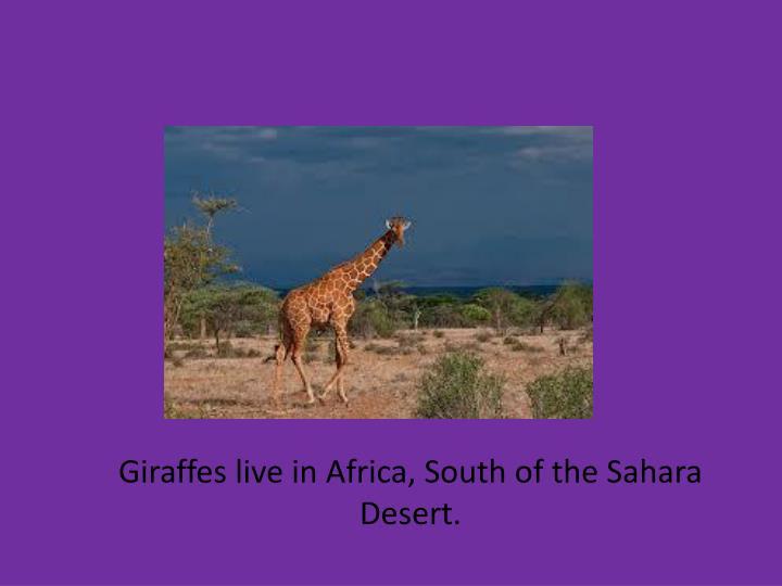 Giraffes live in Africa, South of the Sahara Desert.