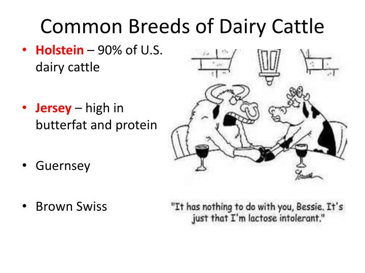 Common Breeds of Dairy Cattle