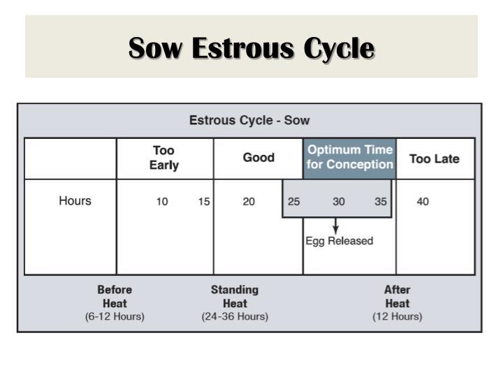 Sow Estrous Cycle