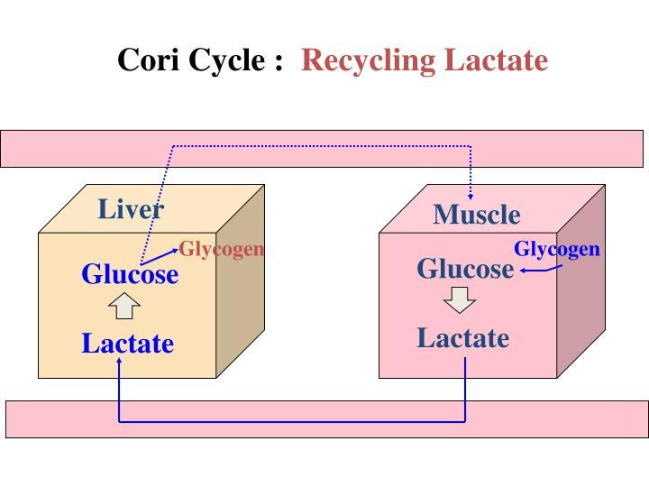 Cori Cycle :