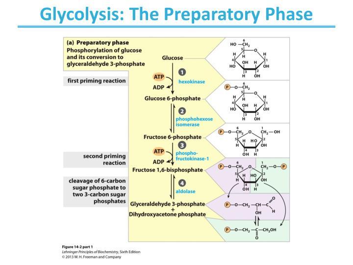 Glycolysis: The Preparatory Phase