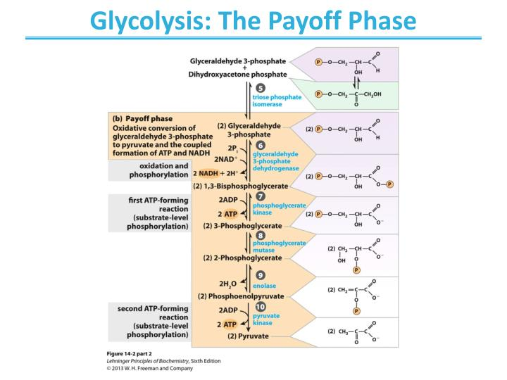 Glycolysis: The Payoff Phase