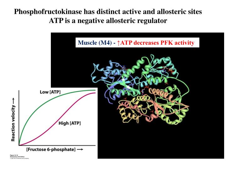 Phosphofructokinase has distinct active and allosteric sites