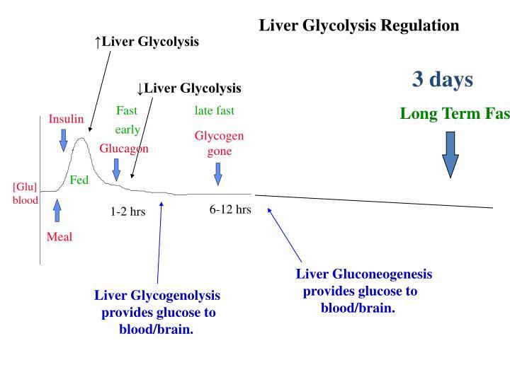 Liver Glycolysis Regulation