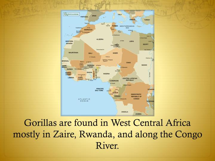 Gorillas are found in west central africa mostly in zaire rwanda and along the congo river