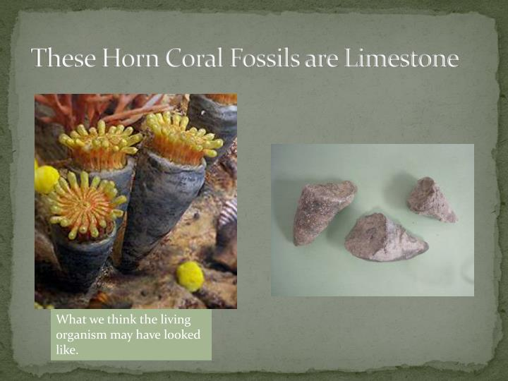 These Horn Coral Fossils are Limestone