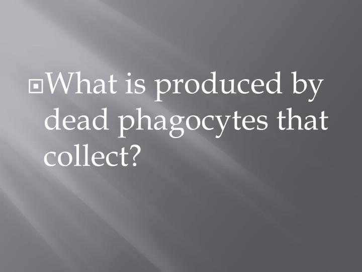 What is produced by dead phagocytes that collect?