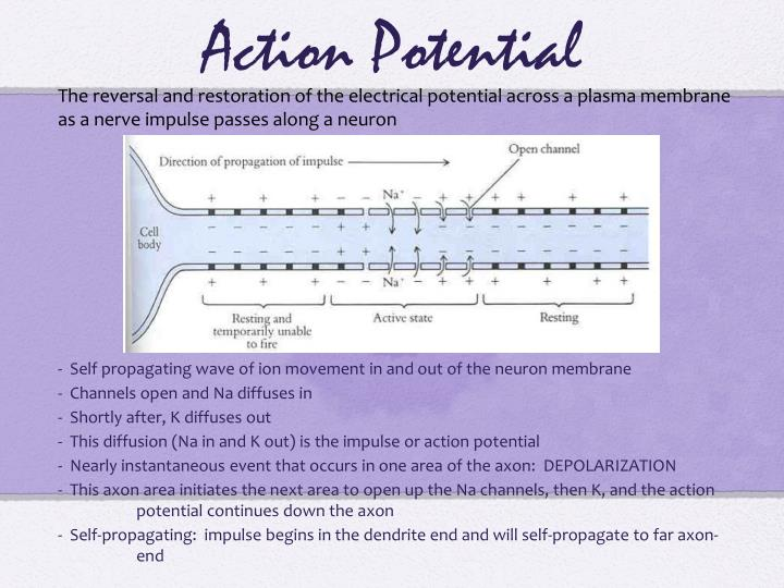 The reversal and restoration of the electrical potential across a plasma membrane