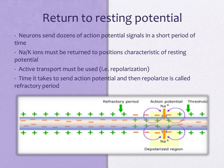 Return to resting potential