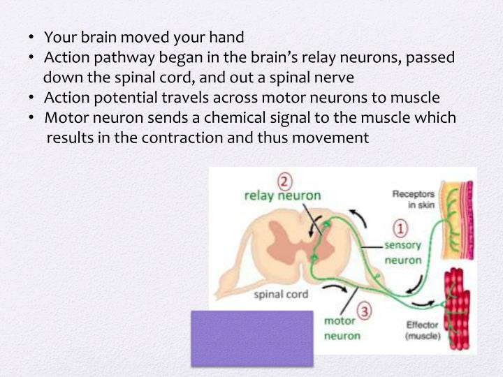 Your brain moved your hand