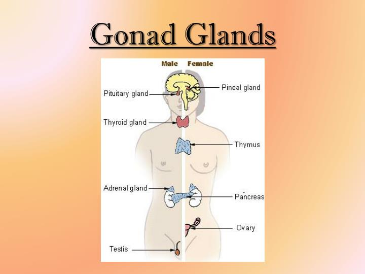 Gonad Glands