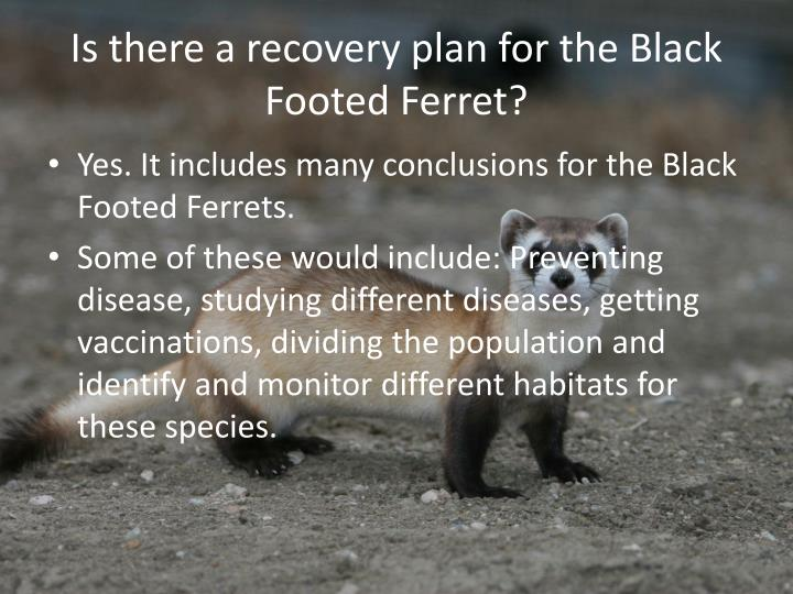 Is there a recovery plan for the Black Footed Ferret?