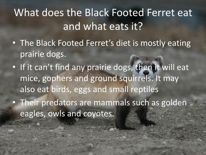 What does the Black Footed Ferret eat and what eats it?