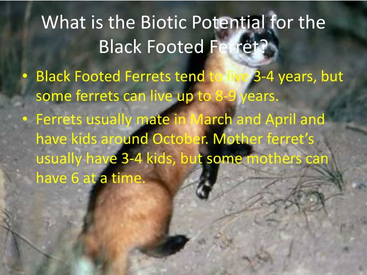 What is the Biotic Potential for the Black Footed Ferret?