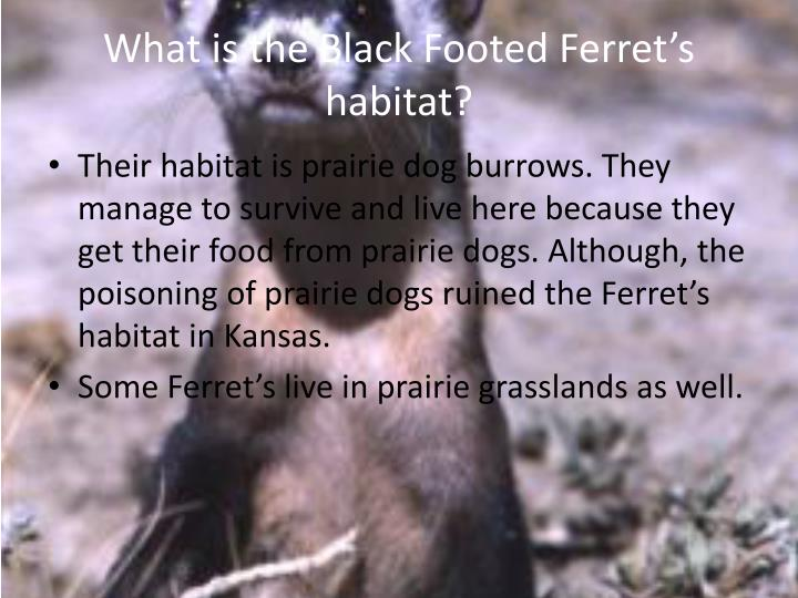 What is the Black Footed Ferret's habitat?