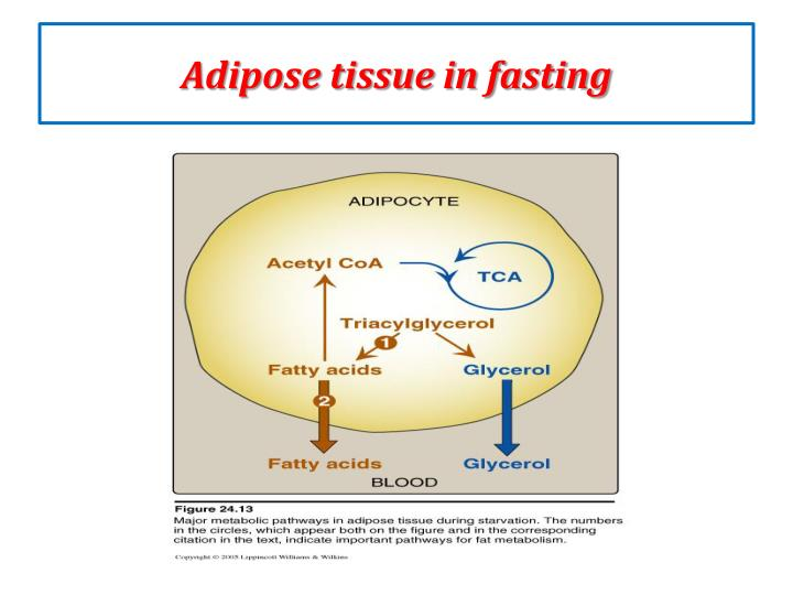 Adipose tissue in fasting