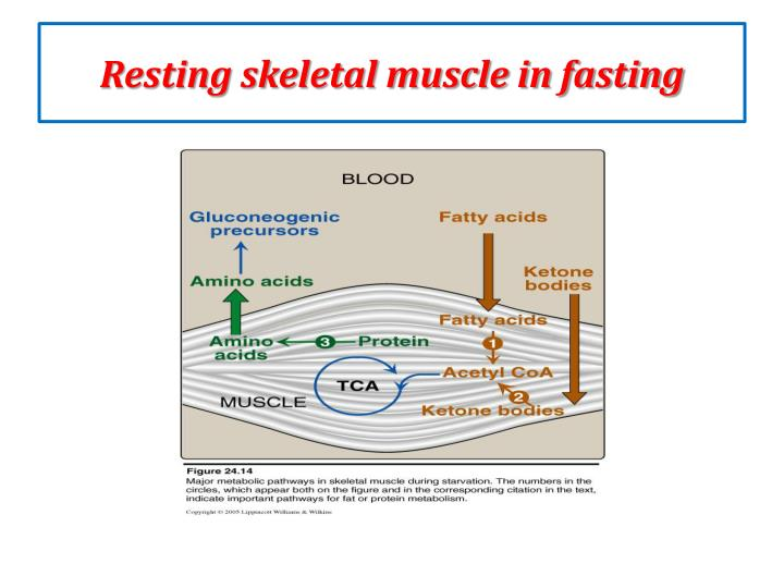 Resting skeletal muscle in fasting