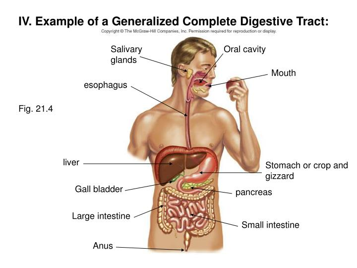 IV. Example of a Generalized Complete Digestive Tract: