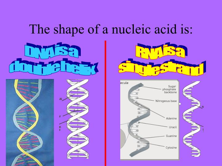 The shape of a nucleic acid is: