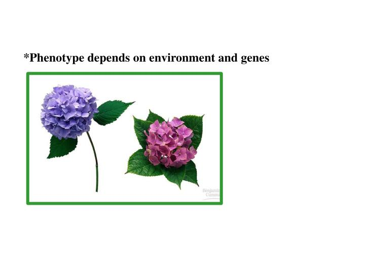 *Phenotype depends on environment and genes