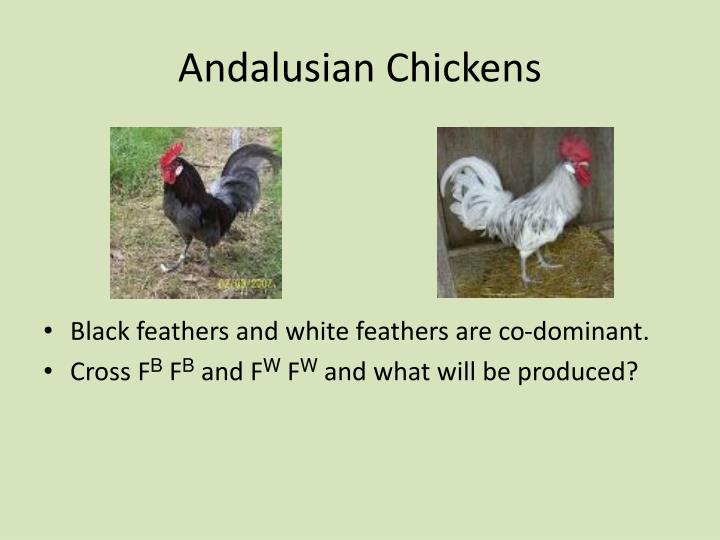 Andalusian Chickens