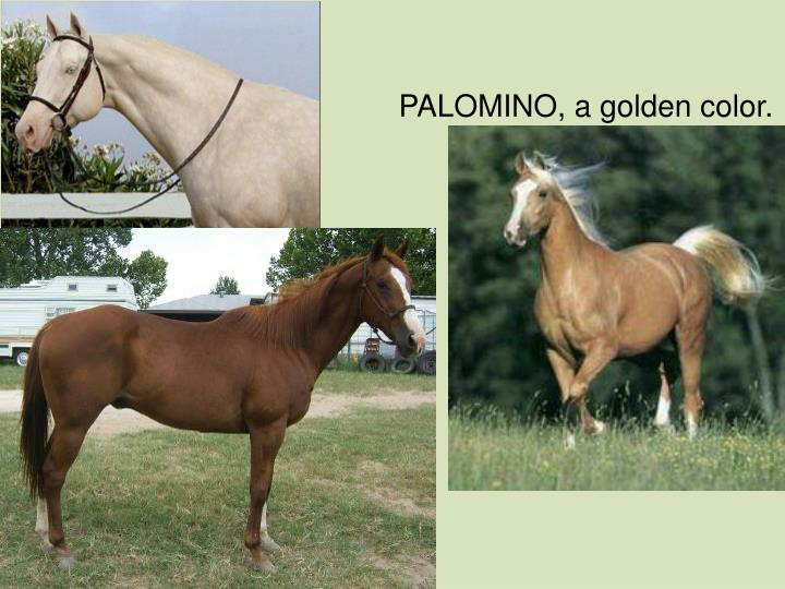 PALOMINO, a golden color.