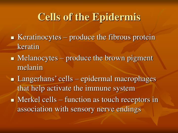 Cells of the Epidermis