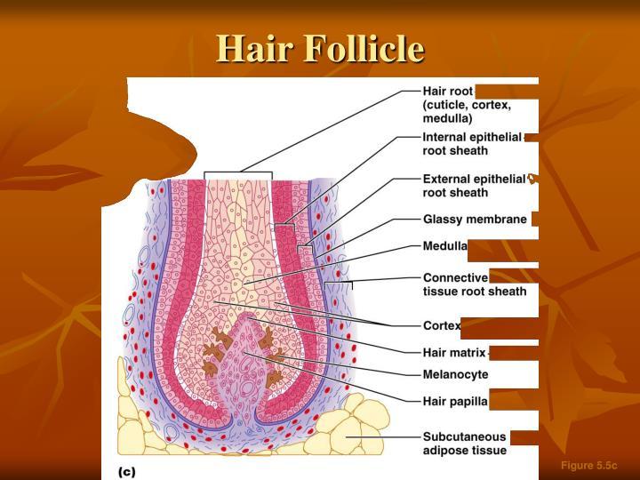 Hair Follicle